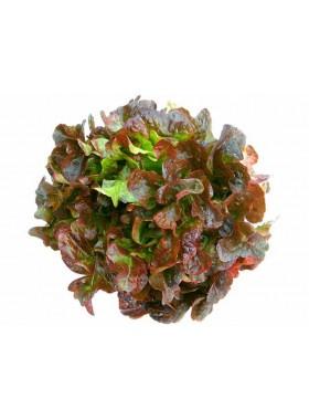 Lettuce Seeds (Oakleaf)
